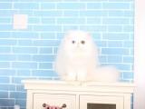 青岛哪里有波斯猫卖 纯种 无病无廯 协议质保