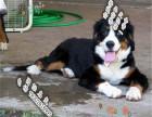 哪里可以买到健康的伯恩山犬可以签协议的那种