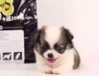吉娃娃幼犬 会上厕所已驯养 爱宝品质值得信奈