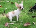 本地正规犬场一出售苹果头吉娃娃幼犬