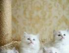 家养布偶c蓝双色海豹双色十几只布偶猫成母也卖