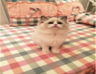 自家布偶貓多只幼貓待售 可上門看