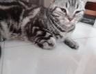 美国短毛猫,美短,短毛猫,母猫