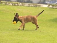 全国连锁正规养殖基地出售各类名犬