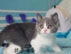 体纯种宠物猫精品英国短毛猫蓝白渐 层
