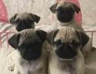 深圳狗狗之家长期出售高品质 巴哥 售后无忧