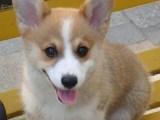 广州博美犬 养殖场直销多种高品质名犬 实惠包健康