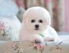 沈阳出售犬舍繁殖高品质 比熊 当面签协议