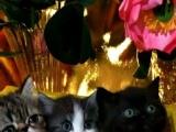 加菲,孟买,加白起司猫三只母猫
