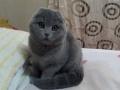 纯种英短、美短 折耳猫猫转让