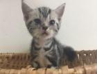 自家育金虎斑美国短毛猫小猫12.8生嘛嘛带回家