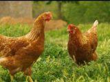 青年鸡养殖基地河南青年鸡养殖基地