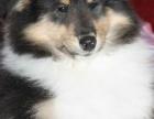 专业繁殖苏格兰牧羊犬,品质有保证赛级血统 品相完美