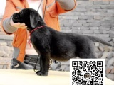 纯正健康拉布拉多犬出售-幼犬出售,当地可以上门挑选