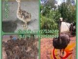 贵州鸵鸟苗批发-贵阳优质鸵鸟苗供应商