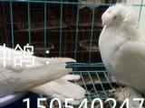 咸阳观赏鸽养殖场出售秀鸽,高飞鸽,跟头鸽,淑女鸽,鼓手鸽等。