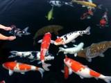 上海观赏鱼专卖,上海锦鲤鱼批发,上海鱼缸专卖