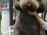 巨型泰迪犬巨型泰迪熊3700