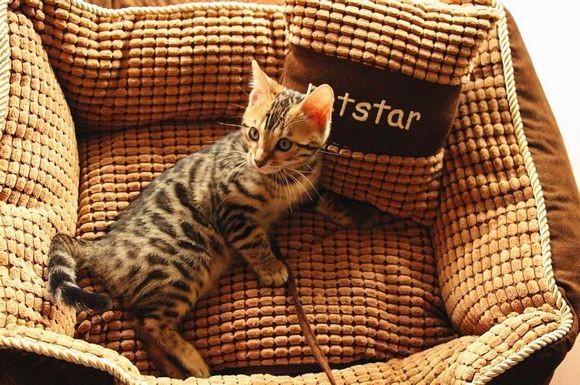 苏州哪里有孟加拉豹猫卖 野性外表温柔家猫性格 时尚 漂亮