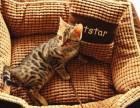 厦门哪里有孟加拉豹猫卖 野性外表温柔家猫性格 时尚 漂亮
