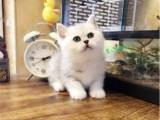 哪里出售纯种英国银渐层短毛猫英国银渐层短毛猫的价格多少