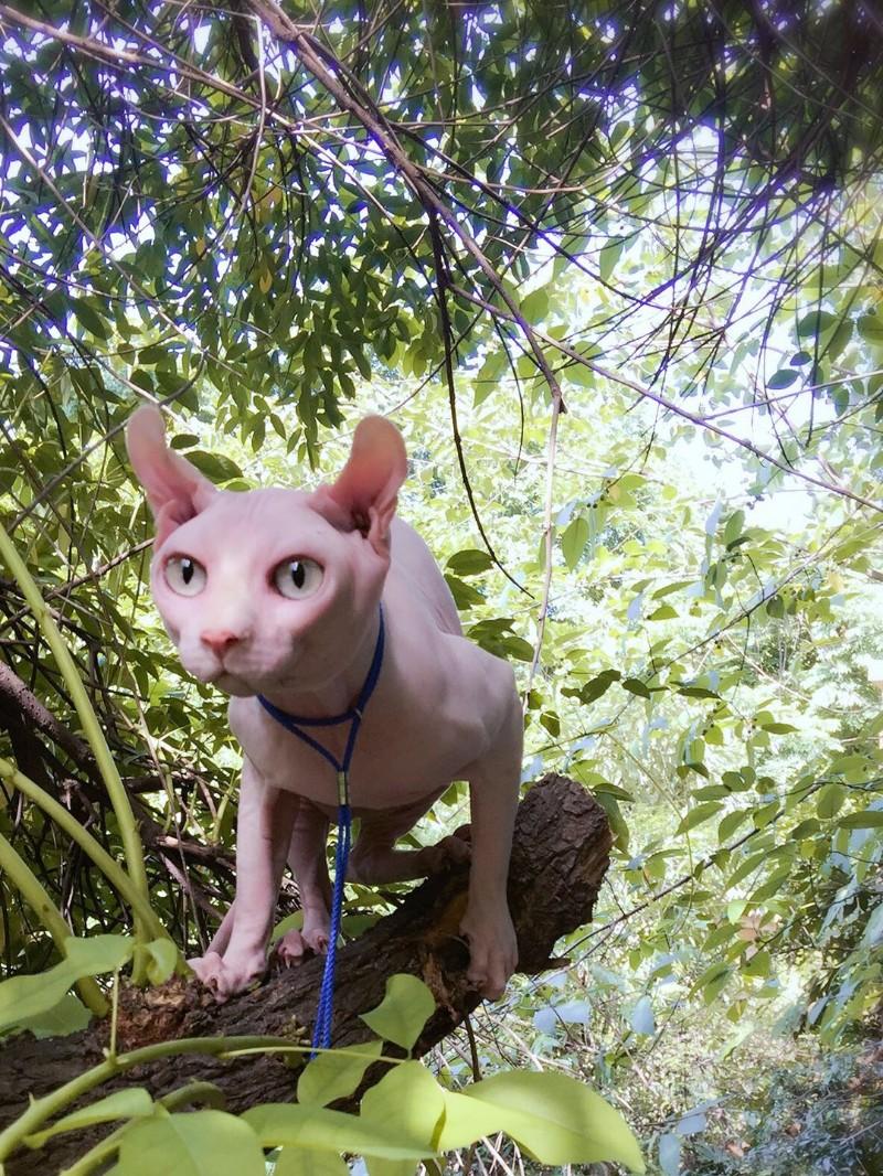 斯芬克斯卷耳精灵无毛猫公猫 对外借配 配种