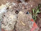 石碣防治白蚁所 石龙灭治白蚁 企石灭治白蚁 技术精湛