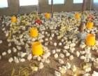 干撒式发酵床减少鸡群生病招商