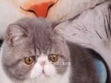 CFA赛级加菲猫对外配种