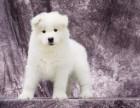 乌鲁木齐纯种萨摩耶价格,乌鲁木齐哪里能买到纯种萨摩耶犬