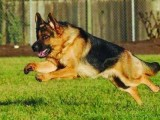 绵阳金品德牧犬价格 精品德牧犬多少钱 品相一流德牧犬