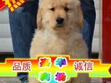 买纯种金毛幼犬/三年联保签协议/赠狗狗户口