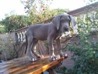 高品质大丹幼犬 蓝色大丹幼犬哪里有纯种大丹幼犬出售