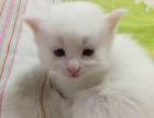 纯白色鸳鸯眼波斯猫