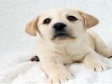 健康好訓練拉布拉多幼犬 純種高品相品質拉布拉多現貨狗狗