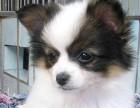 深圳出售蝴蝶犬金毛泰迪哈士奇萨摩耶秋田德牧阿拉斯加等各种名犬