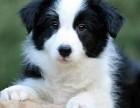 保证健康 纯种 边境牧羊犬幼犬 疫苗已做好 喜欢联系