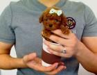 纯种茶杯体形泰迪熊,保证纯种血统,包活,实拍,实价