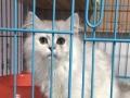 超美大骨架银渐层金吉拉宠物猫 赛级长毛银渐层金吉拉猫品相好