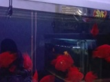 出售自家养鹦鹉鱼