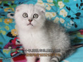 长春买猫 苏格兰折耳猫 英短美短蓝猫折耳猫 品相好 有保障