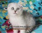长沙买猫 苏格兰折耳猫 英短美短蓝猫折耳猫 品相好 有保障