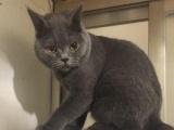 纯种蓝猫未来种公9个月大转让