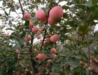 自摘果园 富士苹果 订购送货