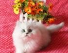 金吉拉猫咪幼猫 标准银渐层金吉拉-DD和MM都有