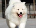 重庆哪里出售萨摩耶犬 重庆宠物店信誉好