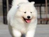 重庆哪家宠物店好 重庆萨摩耶哪里有卖 重庆萨摩耶犬多少钱