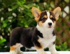 哪里有卖柯基犬柯基犬多少钱柯基犬图片柯基犬幼犬