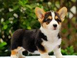 哪里有賣柯基犬柯基犬多少錢柯基犬圖片柯基犬幼犬