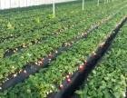 福山当地草莓采摘